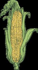 Ear Of Corn Colored