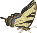 Butterfly Papilio Turnus Side View