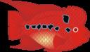 Flowerhorn Fish