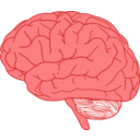 Brain In Profile
