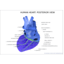 download Human Heart Posterior View clipart image with 225 hue color
