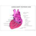download Human Heart Posterior View clipart image with 315 hue color
