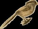 Paradoxornis Heudei
