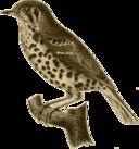 Conopophaga Aurita