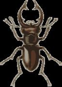 Stag Beetle Lucanus Elephas