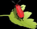 Cardinal Beetle Pyrochroa Coccinea