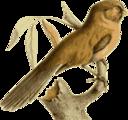 Paradoxornis Unicolor