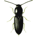 download Beetle Cardiophorus clipart image with 45 hue color