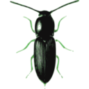 download Beetle Cardiophorus clipart image with 90 hue color