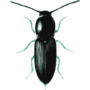 download Beetle Cardiophorus clipart image with 135 hue color