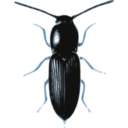 download Beetle Cardiophorus clipart image with 180 hue color