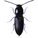 download Beetle Cardiophorus clipart image with 225 hue color