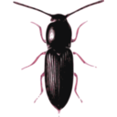 download Beetle Cardiophorus clipart image with 315 hue color