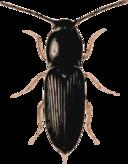 Beetle Cardiophorus
