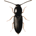 download Beetle Cardiophorus clipart image with 0 hue color