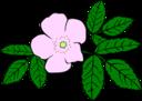 Gg Rosa Acicularis