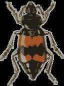 Spotted Sexton Beetle Necrophorus Guttatus