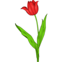 Colored Tulip