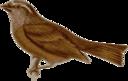 Carpodacus Edwardsii