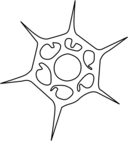 Silicoflagellata
