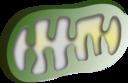 Mithochondrion