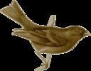 Carpodacus Vinaceus Female