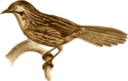 Babax Lanceolatus
