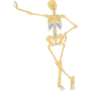Human Skeleton Outline
