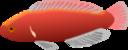 Aquarium Fish Cirrhilabrus Jordani