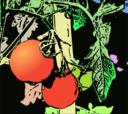Illustration Tomaten