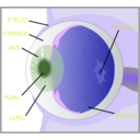 download Eye With Labels clipart image with 225 hue color