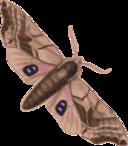 Moth Smerinthus Geminatus Top View