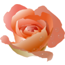 Rose With Drops