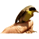 Yellowthroat Bird