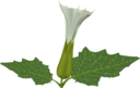 Stramonium Flower