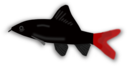 Aquarium Fish Epalzeorhynchos